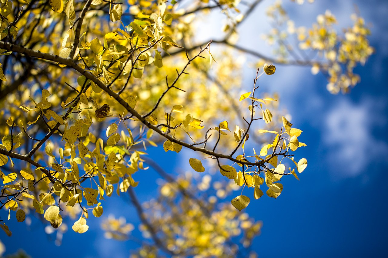 Fall And Autumn Wallpaper File Yellow Aspen Leaves Blue Sky Fall Colors At Rocky