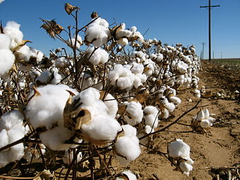 English: A cotton field in Texas, USA