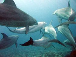 A pod of Indo-Pacific bottlenose dolphins in t...