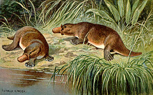 Tale of The Duck Billed Platypus Makes Angry Angry