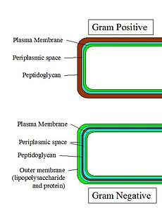 gram positive cell wall diagram 3406e jake brake wiring - simple english wikipedia, the free encyclopedia