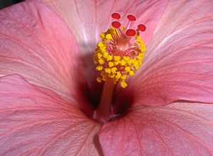 Flower of a hibiscus.