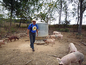 Joel Salatin and pigs at Polyface Farms in Vir...