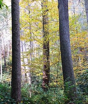 English: Trees at the Joyce Kilmer Memorial Fo...