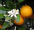 OrangeBloss wb.jpg
