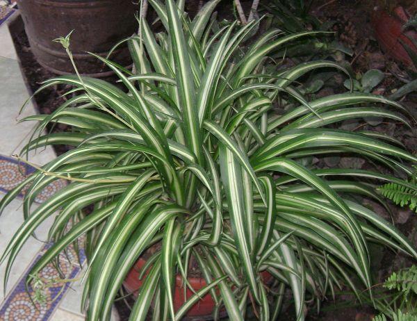 chlorophytum comosum - wikipedia