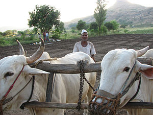 Farmer and bullocks. Tambhol Village, November...