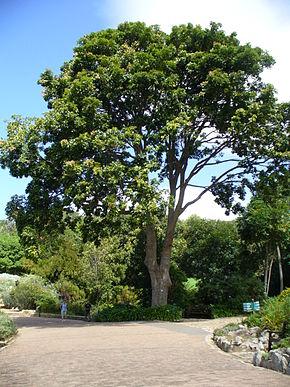 Khaya arbre  Wikipdia