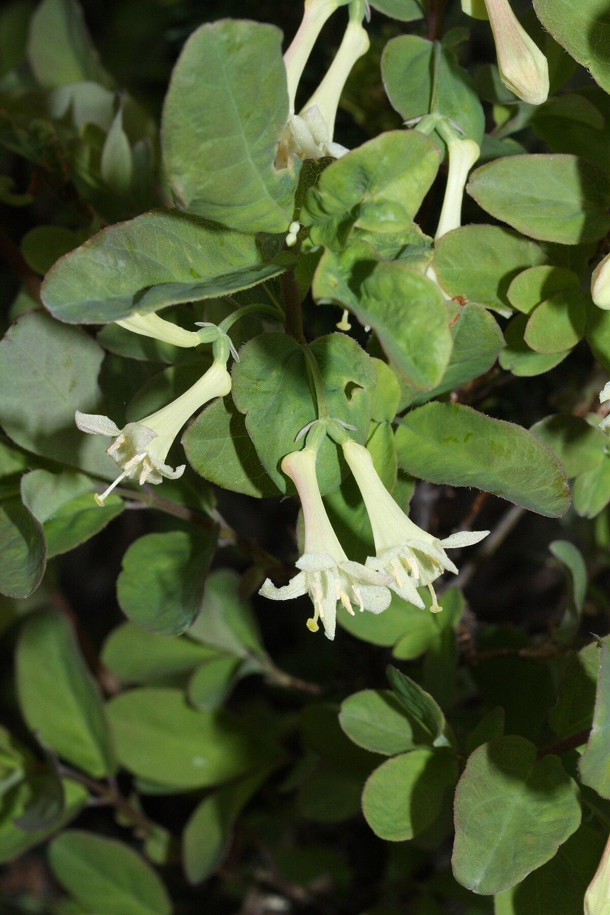 Lonicera utahensis  Wikipedia