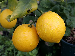 Pair of lemons-cropped