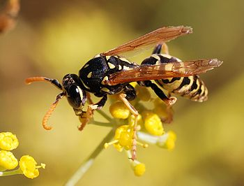 male paper wasp (Polistes dominula)
