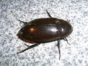 English: Hydrophilidae water beetle, Nagerhole...