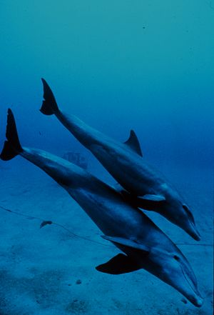 Mother and juvenile bottlenose dolphins head t...