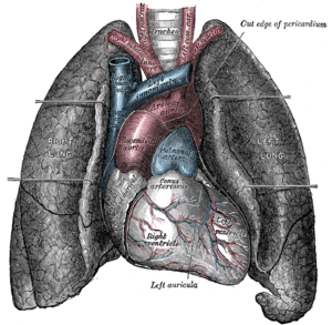 Anterior (front) view of heart and lungs.