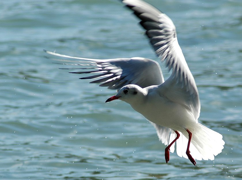 Картинки по запросу чайка