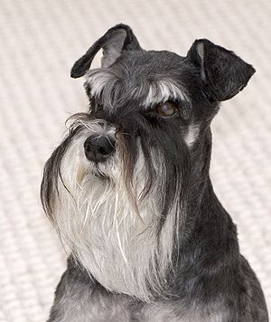 A black-and-silver Miniature Schnauzer named M...