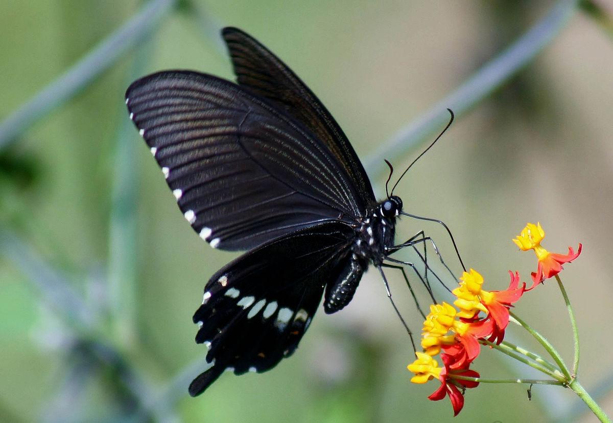 蝴蝶 - 維基百科,自由的百科全書