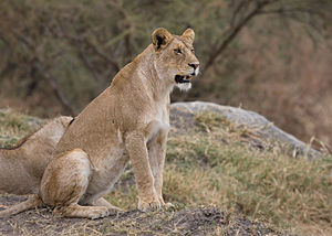 A Lioness (Panthera leo) in Serengeti