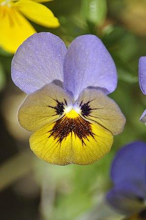 Pansy (Viola tricolor) in Fiera di Primiero, ....