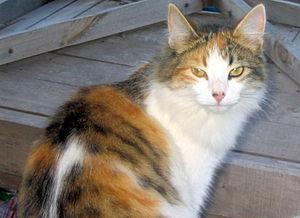 English: A cat named Kylie. Español: Una gata ...