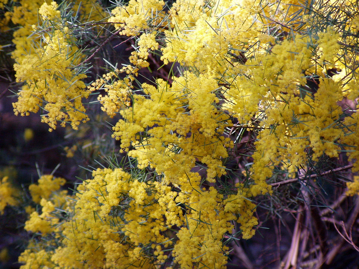Acacia boormanii  Wikipedia