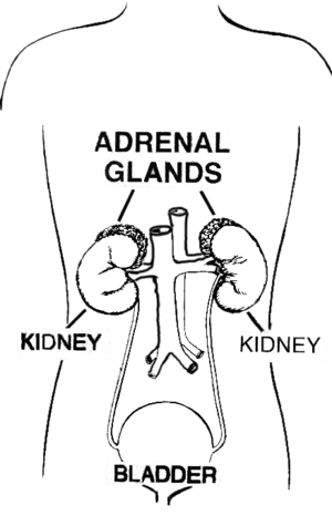line art drawing of Adrenal gland, cleaned up ...