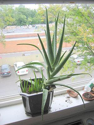 Aloe vera with shoots 2