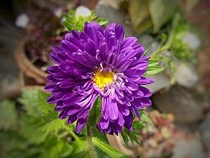 紫菀 - 維基百科。自由嘅百科全書