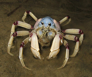 Light-blue Soldier Crab (Mictyris longicarpus)...