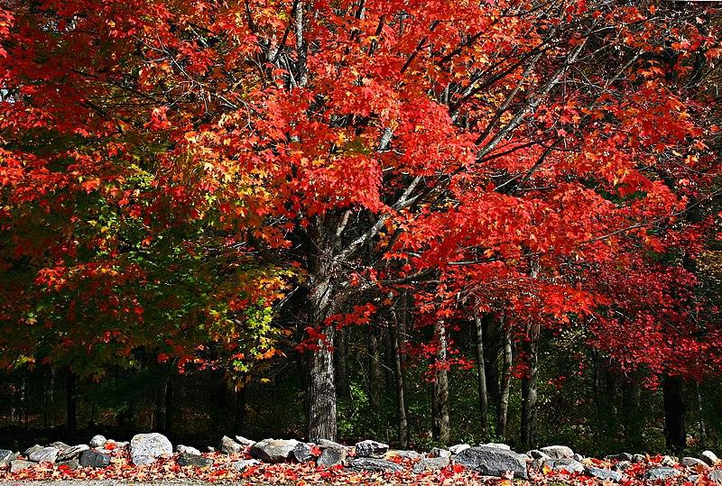 File:Lone multicolored maple.jpg