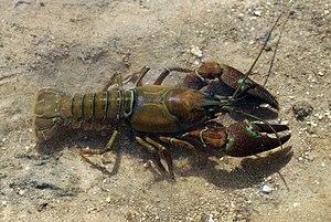 Signal Crayfish (Pacifastacus leniusculus). Ri...