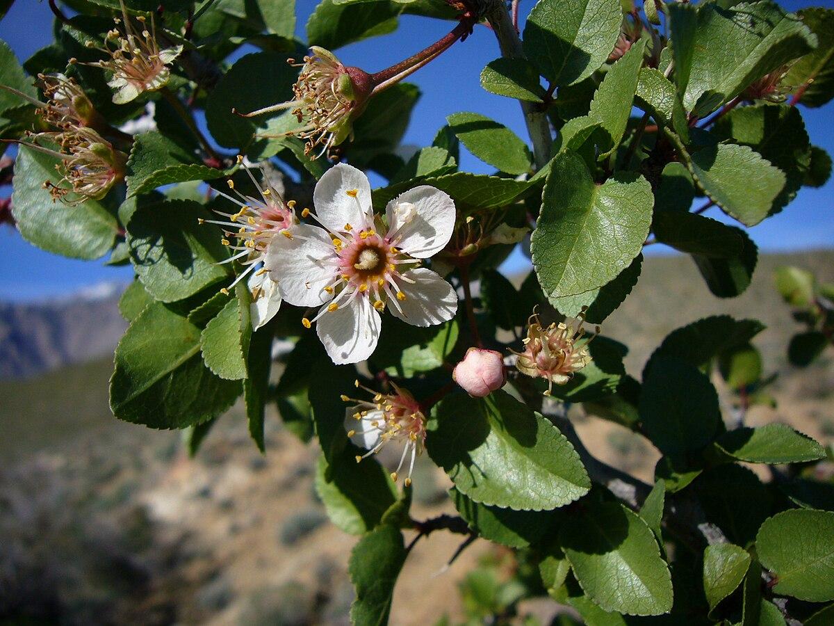 Prunus fremontii  Wikipedia
