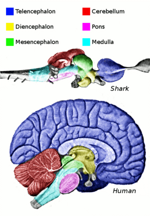 Main regions of the vertebrate brain, shown fo...