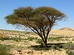 Acacia tree near the end of its range in the Negev Desert of southern Israel.