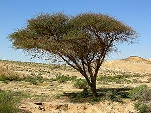 Acacia tree in Makhtesh Gadol, Negev Desert, I...