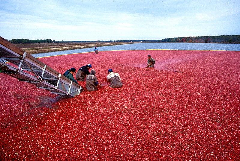 tranbärsskörd i Kanada