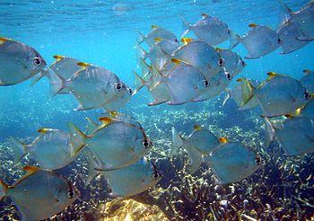 School of Monodactylus argenteus swimms above ...