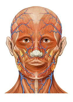 frontal vein wikipedia