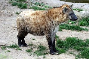 Hyene amneville