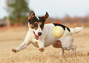 Jack Russell Terrier with ball.