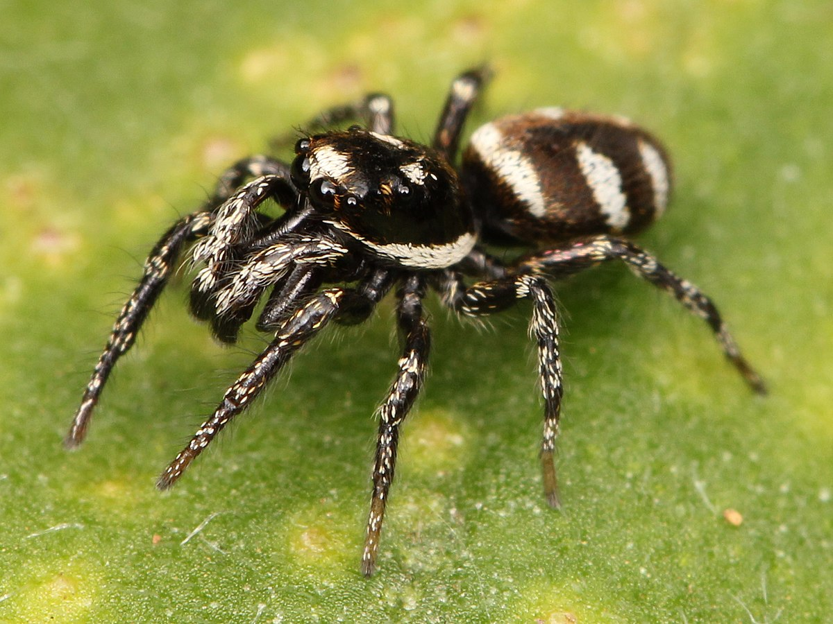 Zebra Spider  Wikipedia