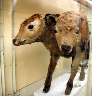 English: A two-headed calf, Museum of Lausanne...