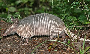 English: A Nine-banded Armadillo in the Green ...