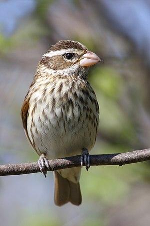 Rose-breasted Grosbeak female, Cap Tourmente N...