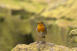 Robin again