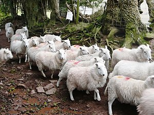 English: Sheep (2) With no choice, the sheep s...