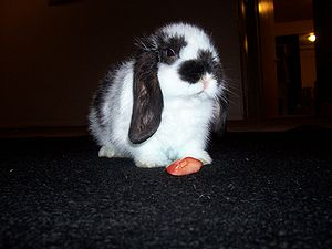 English: Bunny the Rabbit