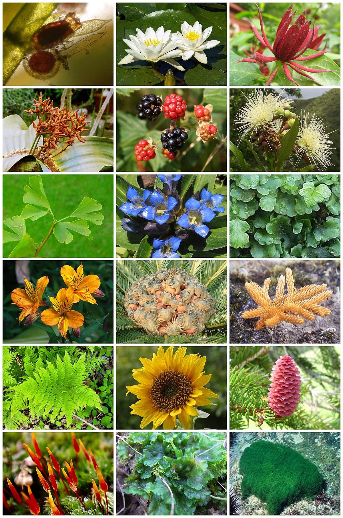 Klasifikasi Plantae : klasifikasi, plantae, Tumbuhan, Wikipedia, Bahasa, Indonesia,, Ensiklopedia, Bebas