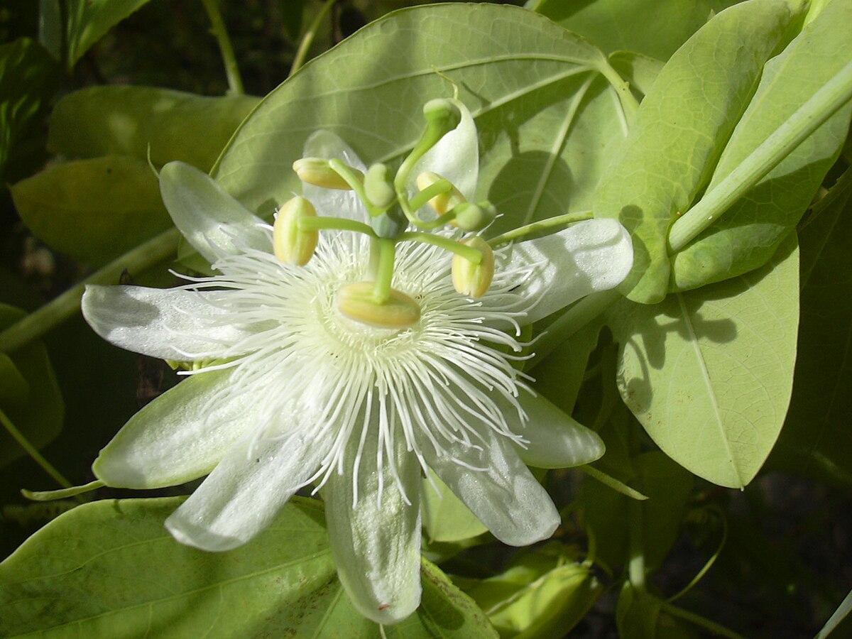 Passiflora subpeltata  Wikipedia la enciclopedia libre