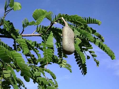 Leaves and seed pod of the tamarind tree